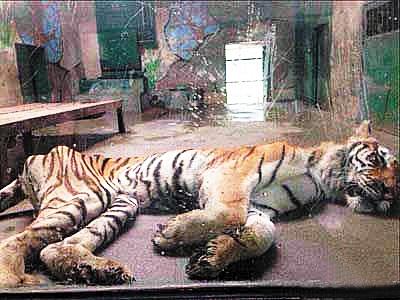 记者2日在天津动物园狮虎山馆内看到
