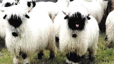 芊芊羊羊-顺带说一句,这种黑脸黑脚的萌羊叫做瓦莱黑鼻羊.是瑞士瓦莱地区培