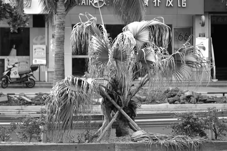 海口海甸岛五西路很多棕树叶子枯萎