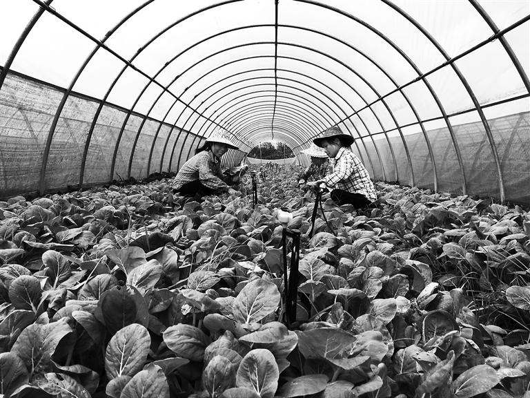 新型蔬菜大棚能抗12级大风