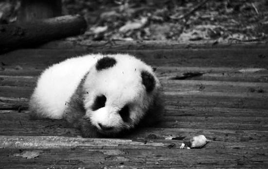 """近日,有网友爆料:在四川成都大熊猫繁育研究基地,一个游客看到""""小灰灰"""