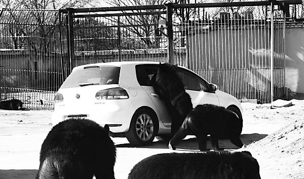 野生动物园发生一起狗熊袭击事件,事发时一辆自驾车辆通过狗熊散养