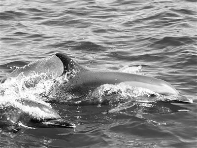 工程研究所海洋哺乳动物研究团队估计,出现在三亚近海海域的这群海豚