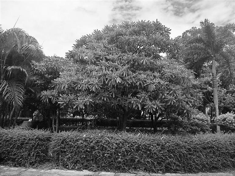"""种在公园""""孕育雕塑""""区内的海芒果."""