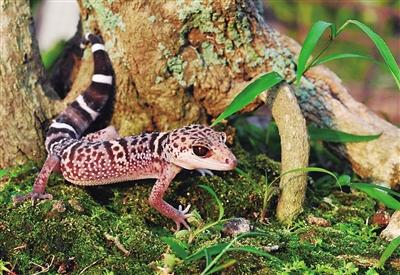 海南岛发现新的睑虎属物种周氏睑虎