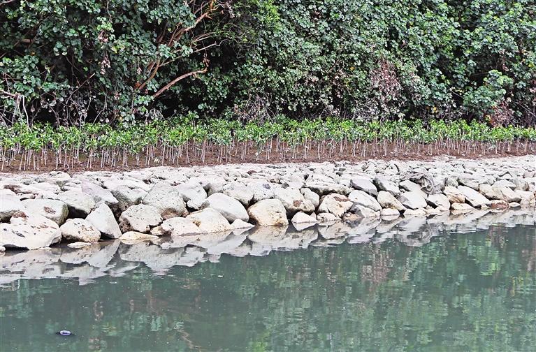 海口龙珠湾岸边将种植2000余平方米红树林